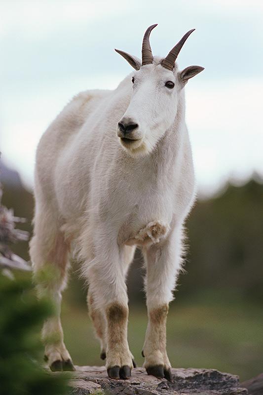 Wildlife in British Columbia, Canada: Mountain Goat / Rocky Mountain Goat