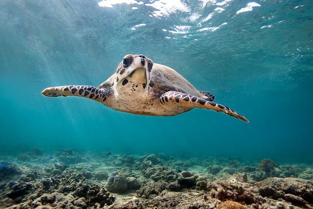 James Scott - Hawksbill Turtle - Gili Air, Indonesia