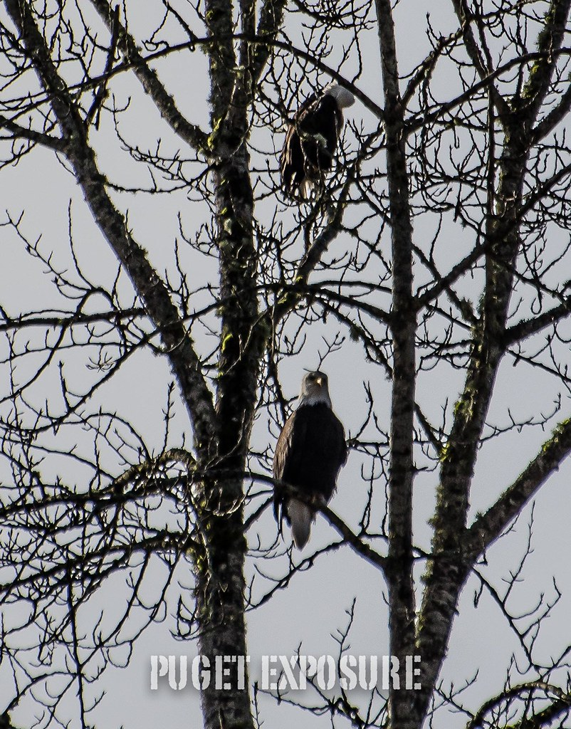 Pair of Bald Eagles, Arlington Washington