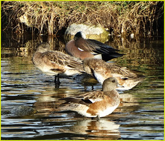 Morning Ducklings, Ford Park 1-12-14