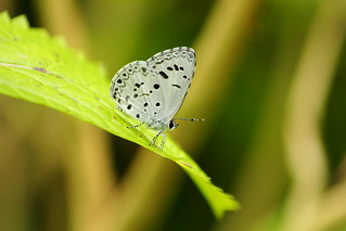 Canon EF-S 55-250mm F4-5.6 IS. Common Hedge Blue (Acytolepis puspa)