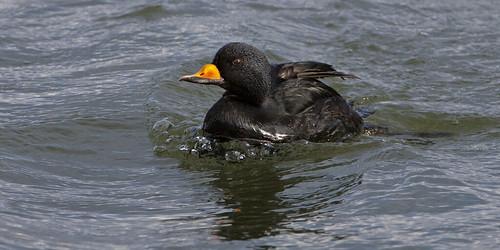 kh0831 barnegatlighthousestatepark aquaticbird bird nj thousandplus melanitta americana melanittaamericana