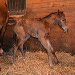 2014 My Little Josie filly by Nicanor