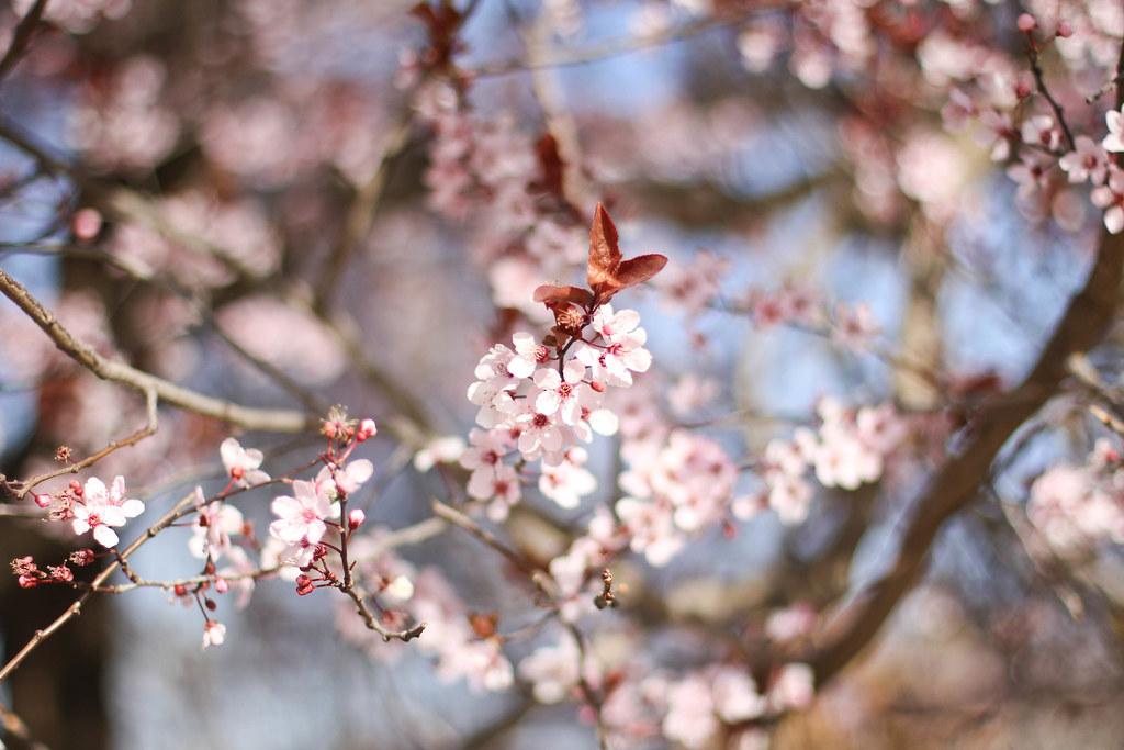 Cherry blossom in the Champ de Mars-1.jpg