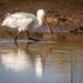 Spoonbill at Castle Espie by Chris-Henry