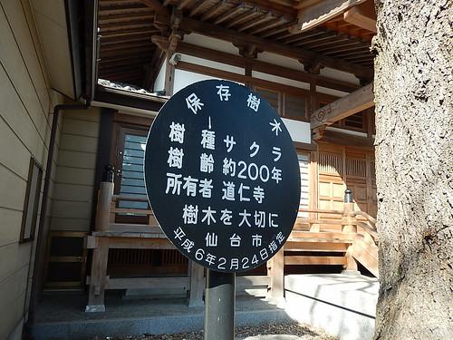 道仁寺サクラ