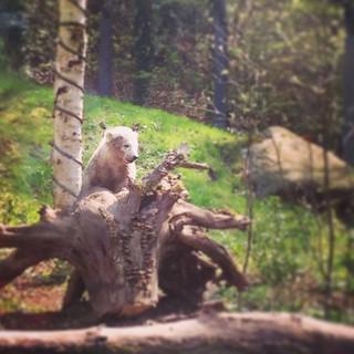 A bear cub plays on a stump