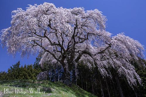 The weeping cherry at Okkazuma
