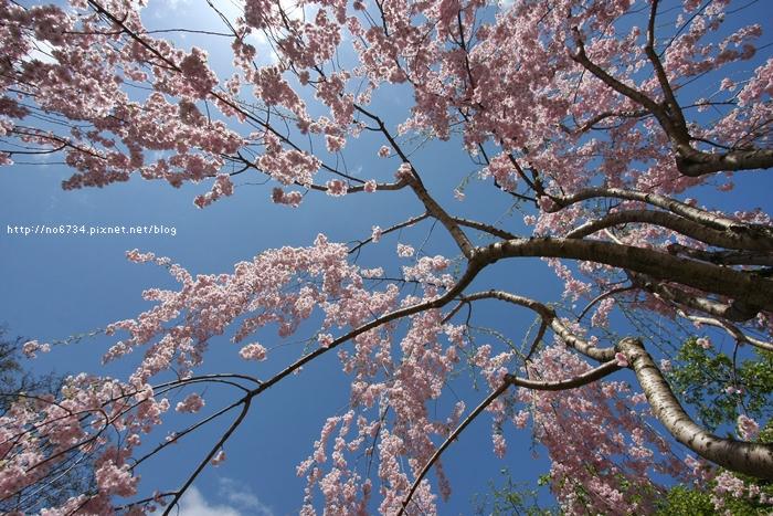 20140502_AomoriSakura_2895 F