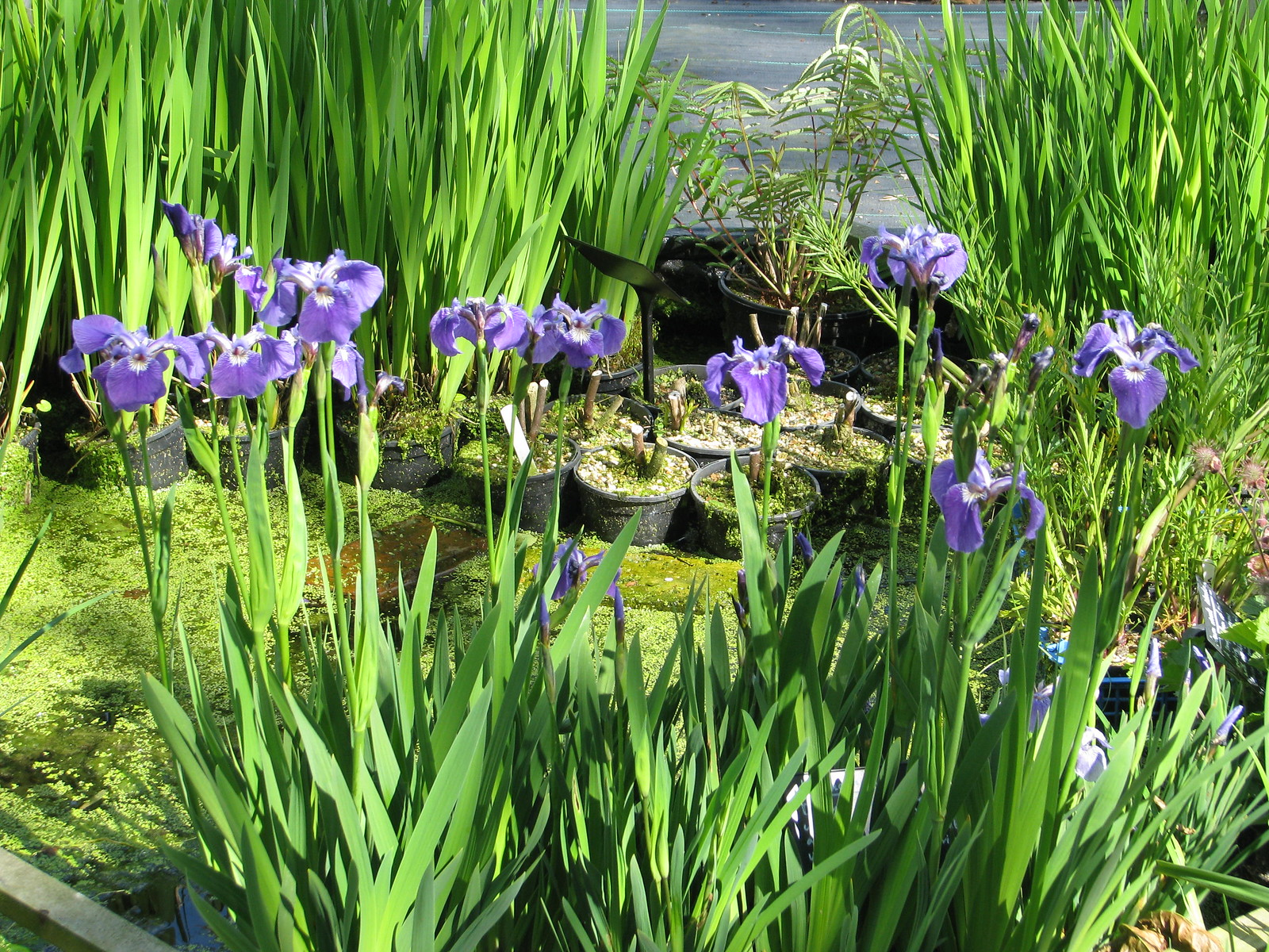 Iris hookeri or setosa