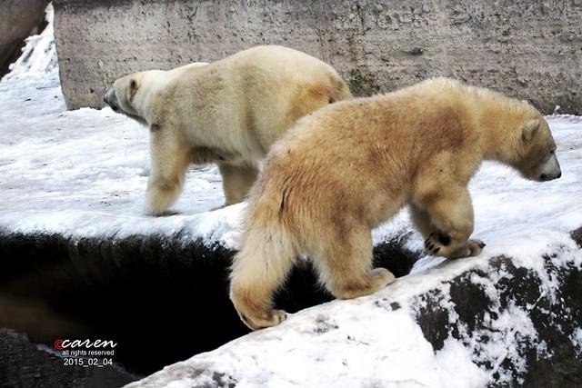 Eisbären Giovanna & Nobby 2015_02_04 137