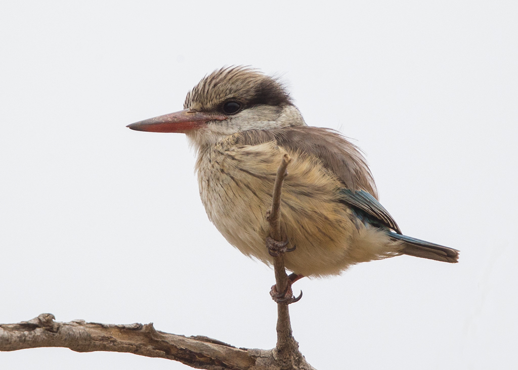 Striped Kingfisher   Gambia
