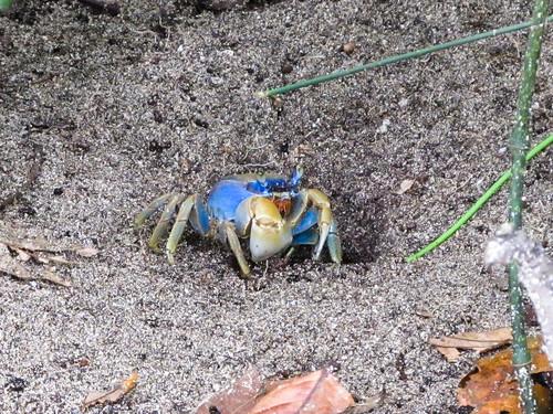 Parc National de Cahuita: la route des crabes