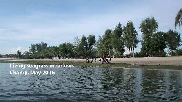 Seagrass meadows at Changi teem with life!