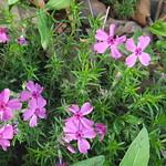 Phlox subulata, moss pink