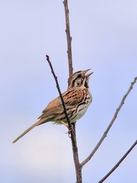 Song Sparrow HDR 20160605