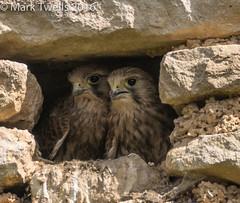 Kestrel chicks - Photo of Rouvres-sur-Aube