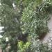 Garden Inventory: Podocarpus - 9
