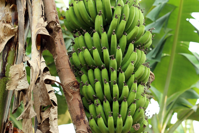 Bananas growing in a village in Luang Namtha, Laos