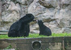 Andean bear cub