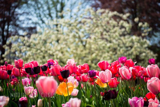Springtime Tulip Mix