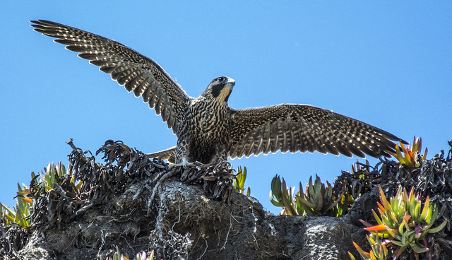 Peregrine Stretching Wings