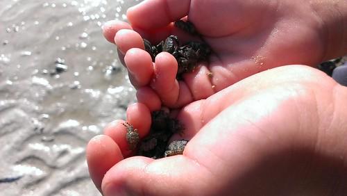 Koh Samui small crabs