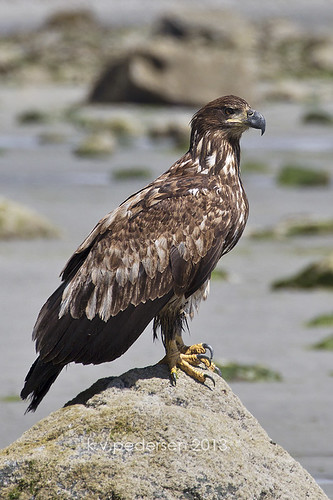 low tide eagle