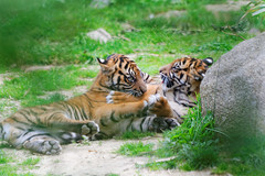 Bébés tigres