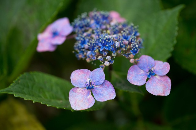 Hortensia, Cloudy Day