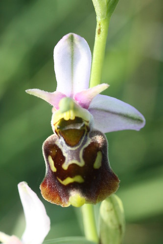Late Spider-orchid Ophrys fuciflora