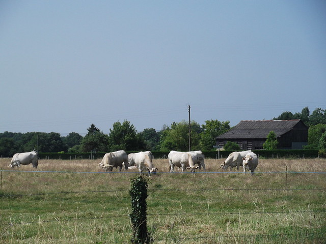 Ses vaches qui broutent