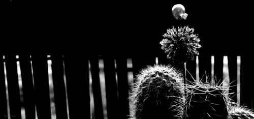 of the cactus, was born a jewel! by Carlos de Matos