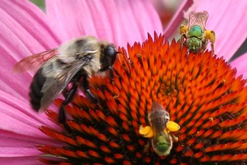 pollinator 037