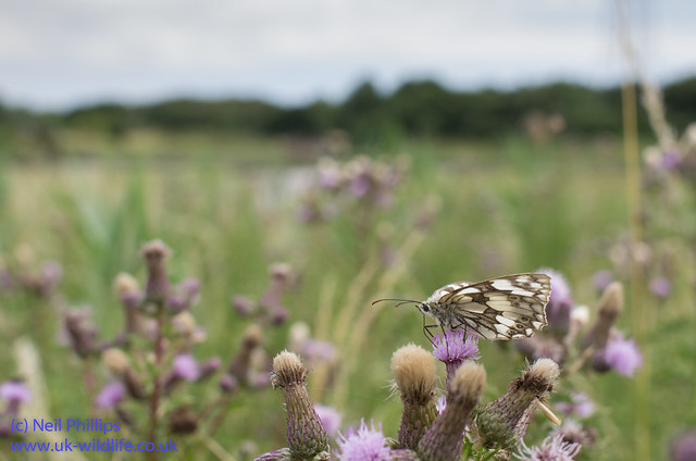 marbled white butterfly-9
