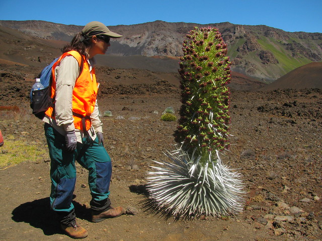 2013 Haleakala Silversword Bloom