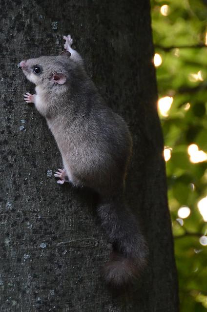 Pequeño roedor trepando por un árbol