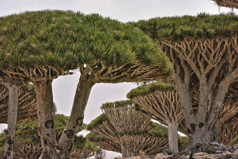 Dragon Tree, Socotra Is, Yemen