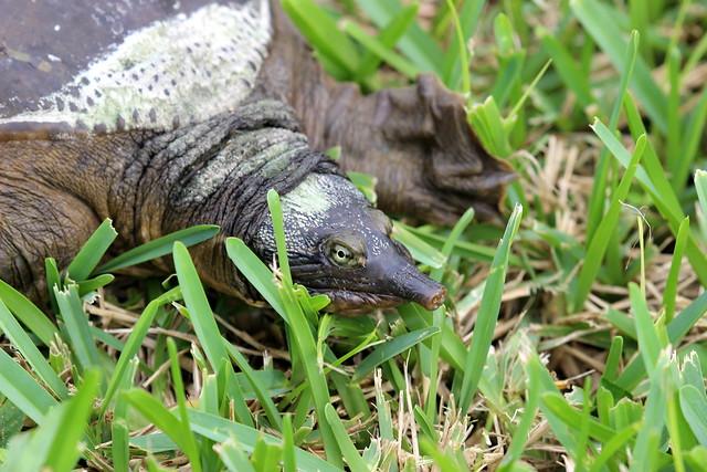 Soft shell turtle neck - photo#50