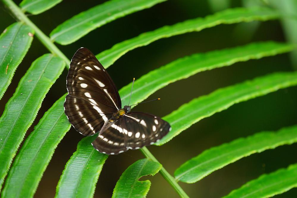 環蛺蝶屬細帶環蛺蝶-1