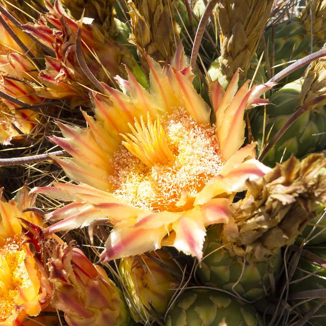 Cactus flower, Arizona-Sonora Desert Museum