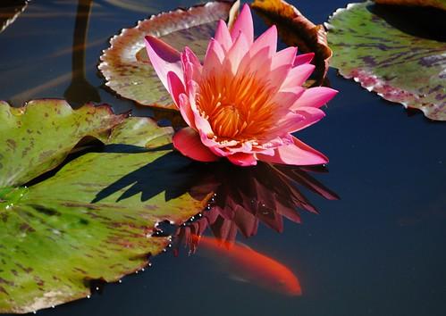 Goldfish Swimming Amongst the Flowers