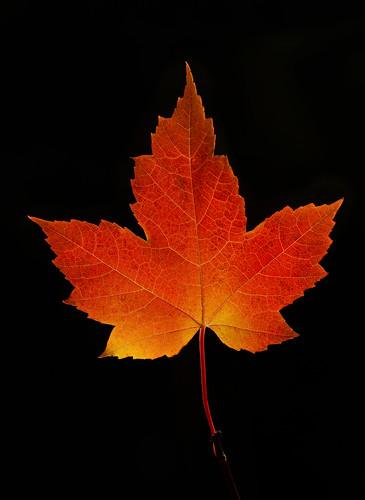Red Maple Leaf, Algonquin Park, Canada