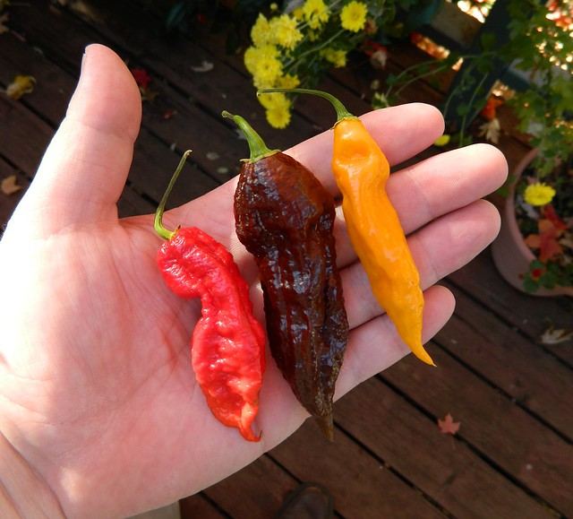Red, Brown, Yellow Bhut Jolokia