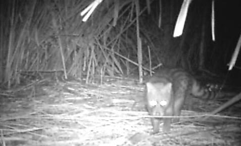 紅外線自動相機拍攝到的麝香貓,在大農大富森林園區的高芒草環境中。(圖片來源:農委會林試所)