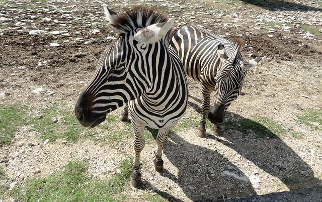 zebras drive thru zoo
