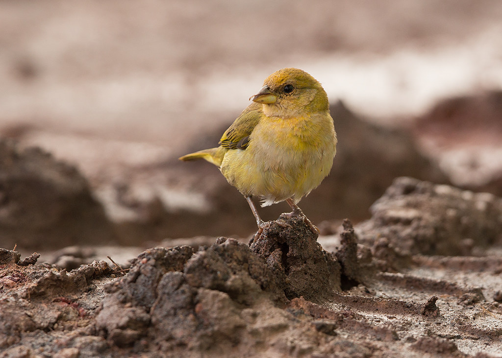 Orange Fronted Yellow-Finch 2014-01-28 (1)