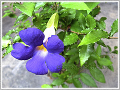 Thunbergia erecta (King's Mantle) with striking deep purple flowers and yellow throat