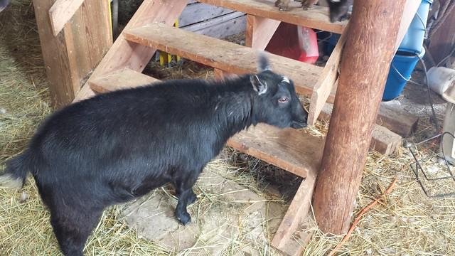 Introducing Nougat, Annie's Nigerian Dwarf Goat