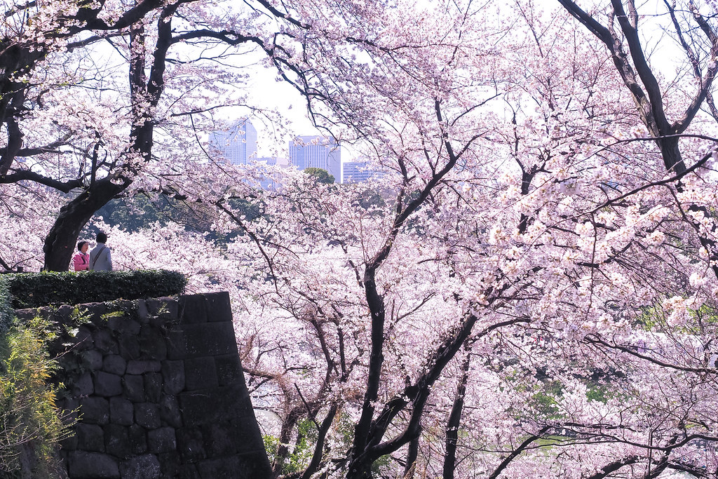 sakura around the castle 2